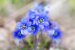 Purple liverwort flowers Royalty Free Stock Image