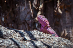 Purple lizard sitting on the rock Royalty Free Stock Photography