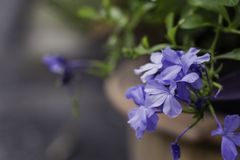 Purple Lobelia in the flowerpot and blur background. Purple Lobelia with green leaf background and in the flowerpot side the village street stock photos