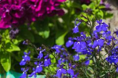 Purple lobelia in a garden. In sunny day Stock Images