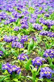 Purple  london yellow flower   and spring. Purple  in london yellow flower field nature and spring Stock Photography