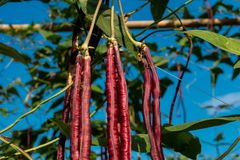 Purple Long Bean. In the garden stock images