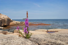 Purple loosestrife Stock Image