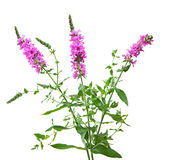 Purple Loosestrife. Lythrum salicaria wild flower plant Stock Photo
