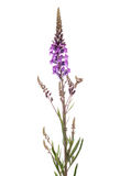Purple Loosestrife. Isolated on white background Royalty Free Stock Photos