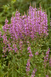 Purple loosestrife. Cluster of purple loosestrife (Lythrum salicaria) on meadow Royalty Free Stock Photo