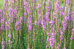Purple loosestrife. The background of purple loosestrife flowers. Scientific name: Lythrum salicaria Royalty Free Stock Photo