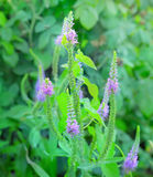 Purple loosestrife Stock Photography