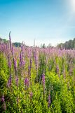 Purple loosestrife against the light from the low sun. Stock Image