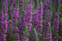 Purple Loosestrife And Bee Royalty Free Stock Images