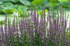 Purple loosestrife Stock Photo