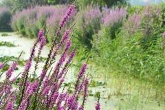 Purple loosestrife Royalty Free Stock Photos