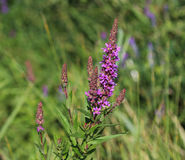 Purple loosestrife. Closeup of purple loosestrife blooming in springtime Stock Photography