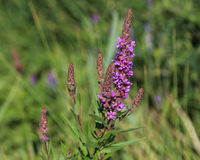 Purple loosestrife. Closeup of purple loosestrife blooming in springtime Stock Images