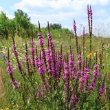 Purple loosestrife Royalty Free Stock Images