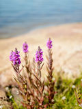 Purple loosestrife - copy space Stock Image