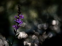 Purple loosestrife on a dark Background. With bokeh Stock Photography
