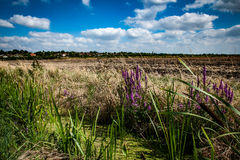Purple loosestrife. On a field edge with a summer sky behind taken from a low angle growing in the margins of a field drain Royalty Free Stock Images