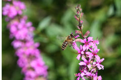 Purple Loosestrife Flower Royalty Free Stock Photo