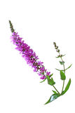 Purple Loosestrife Flower. Lythrum salicaria (Purple Loosestrife) wild flower isolated on white background Stock Photography