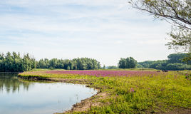 Purple loosestrife flowering in a marshy natural area. Dutch natural area on the flood plain of a big river with a natural pond and a wetland area with abundant Royalty Free Stock Photos