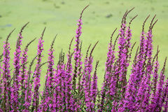 Purple loosestrife flowers. The close-up of anthotaxy of purple loosestrife. Scientific name: Lythrum salicaria Royalty Free Stock Images