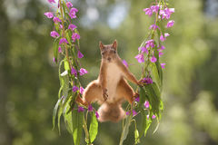 Purple Loosestrife flowers with a red squirrel Royalty Free Stock Image