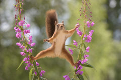Purple Loosestrife flowers with a red squirrel in between Stock Photography