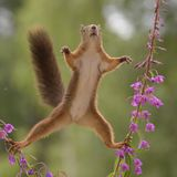 Purple Loosestrife flowers with a red squirrel. Reaching for peanuts Stock Image