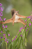 Purple Loosestrife flowers and a red squirrel in split Stock Photo