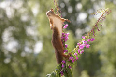 Purple Loosestrife flowers with a squirrel reaching Royalty Free Stock Photo