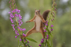 Purple Loosestrife flowers with a wet red squirrel Stock Photo