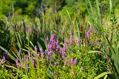 Purple Loosestrife and grasses. With cattails royalty free stock images