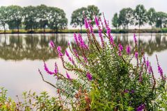 Purple loosestrife grows striking blossoming in the foreground o. Purple loosestrife or Lythrum salicaria grows striking flowering in the foreground of a small royalty free stock photo