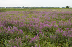 Purple Loosestrife Invasive Species. Purple Loosestrife (Lythrum salicaria), an invasive species, is taking over this sedge meadow wetland Stock Image
