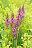 Purple loosestrife and lady's mantle. Purple loosestrife and yellow lady's mantle flowers Royalty Free Stock Photography