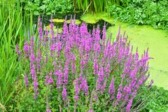 Free Purple Loosestrife - Lythrum Salicaria Royalty Free Stock Photography - 191204987
