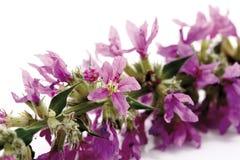 Purple loosestrife (Lythrum salicaria) Stock Photography