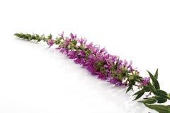 Purple loosestrife (Lythrum salicaria) Stock Images