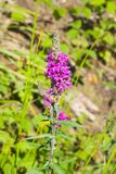 Purple Loosestrife or Lythrum salicaria blossom close-up, selective focus, shallow DOF Stock Photos