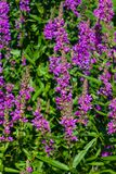 Purple Loosestrife or Lythrum salicaria blossom at flowerbed close-up, selective focus, shallow DOF Royalty Free Stock Photo