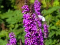 Purple Loosestrife or Lythrum salicaria blossom at flowerbed close-up, selective focus, shallow DOF Royalty Free Stock Photos