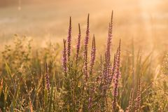Purple loosestrife Lythrum salicaria at sunrise. Purple loosestrife Lythrum salicaria early morning at sunrise Stock Images