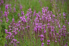 Purple Loosestrife, Lythrum salicaria L., invasive plant. Typical habitat includes cattail marshes, sedge meadows, and bogs. It also occurs along ditch, stream Stock Photography