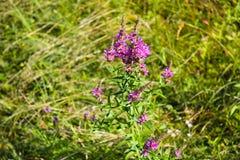 Purple Loosestrife (Lythrum Salicaria) Royalty Free Stock Images