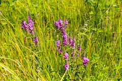 Purple Loosestrife Lythrum Salicaria Royalty Free Stock Images