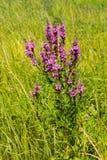 Purple Loosestrife Lythrum Salicaria Stock Photos