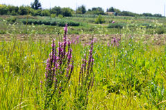 Purple Loosestrife Lythrum Salicaria Stock Photography