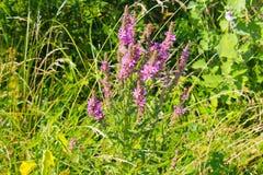 Purple Loosestrife Lythrum Salicaria Stock Images