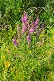 Purple Loosestrife Lythrum Salicaria Royalty Free Stock Images